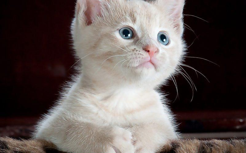 Waar moet u rekening mee houden voordat je een kitten in huis neemt?